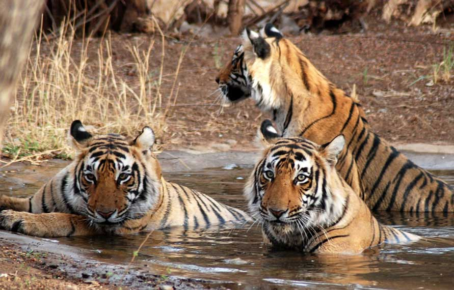 Golden Triangle Tour with Tiger - Ranthambhore
